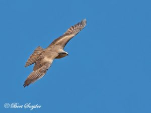Black Kite Birding Portugal