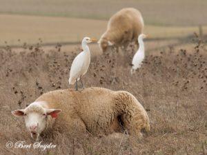 Cattle Egret Birding Portugal
