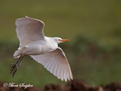 Cattle Egret Birding Portugal