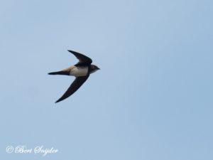 Alpine Swift Birding Portugal