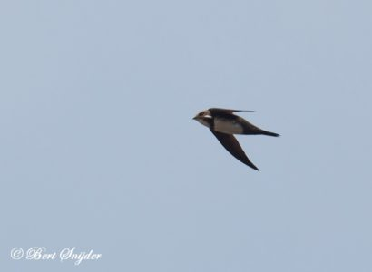 Alpine Swift Birding Portugal