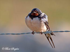 Barn Swallow Birding Portugal