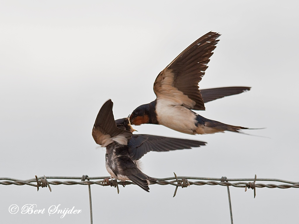 Barn Swallow Birding Portugal
