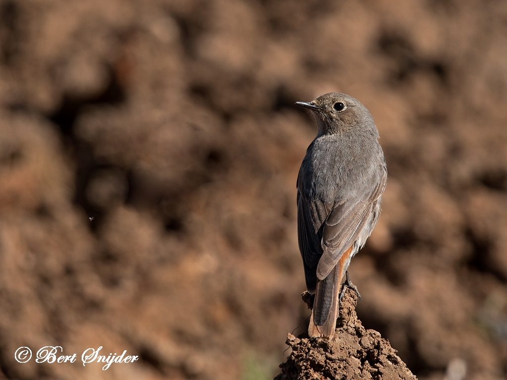 Black Redstart Bird Hide BSP5 Portugal