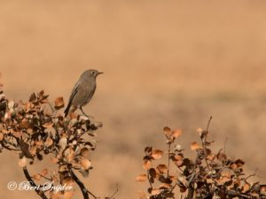 Black Redstart Birding Portugal