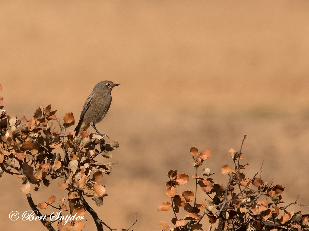 Black Redstart Birding Portugal