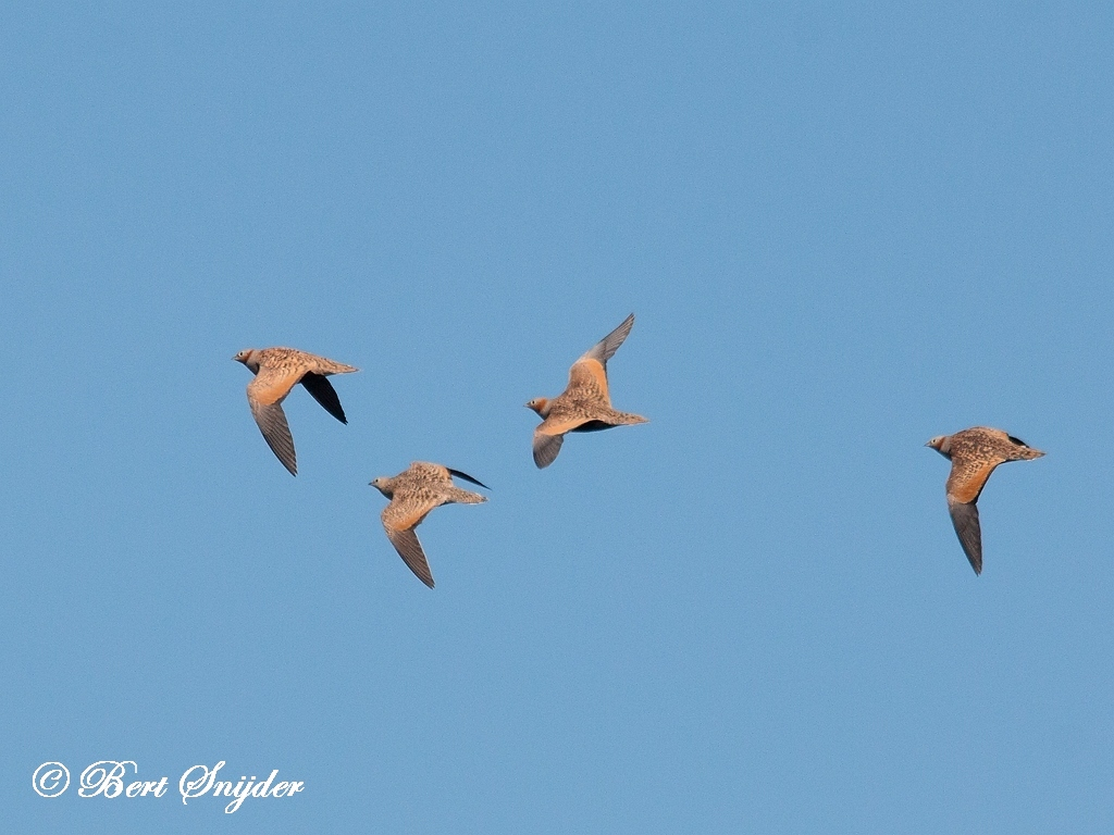 Black-bellied Sandgrouse Bird Hide BSP5 Portugal