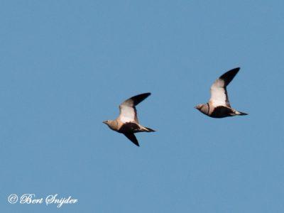Black-bellied Sandgrouse Bird Hide BSP5 Portugal