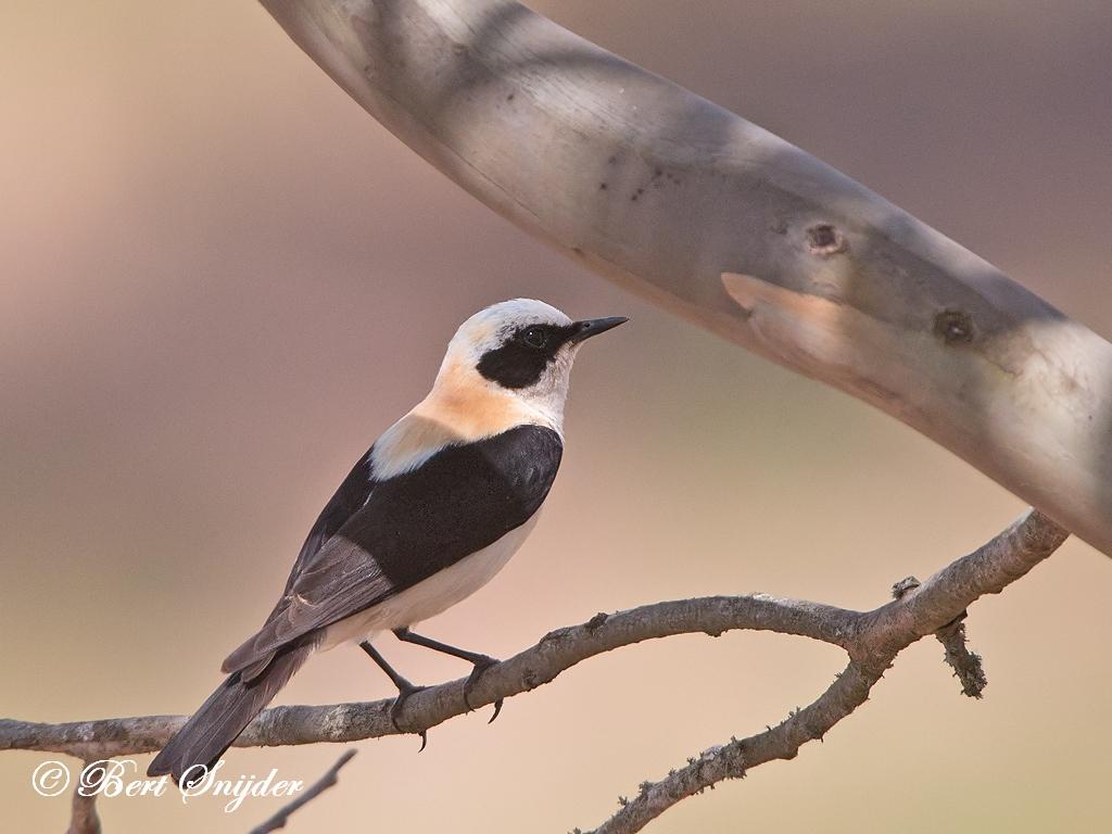 Black-eared Wheatear Birding Portugal