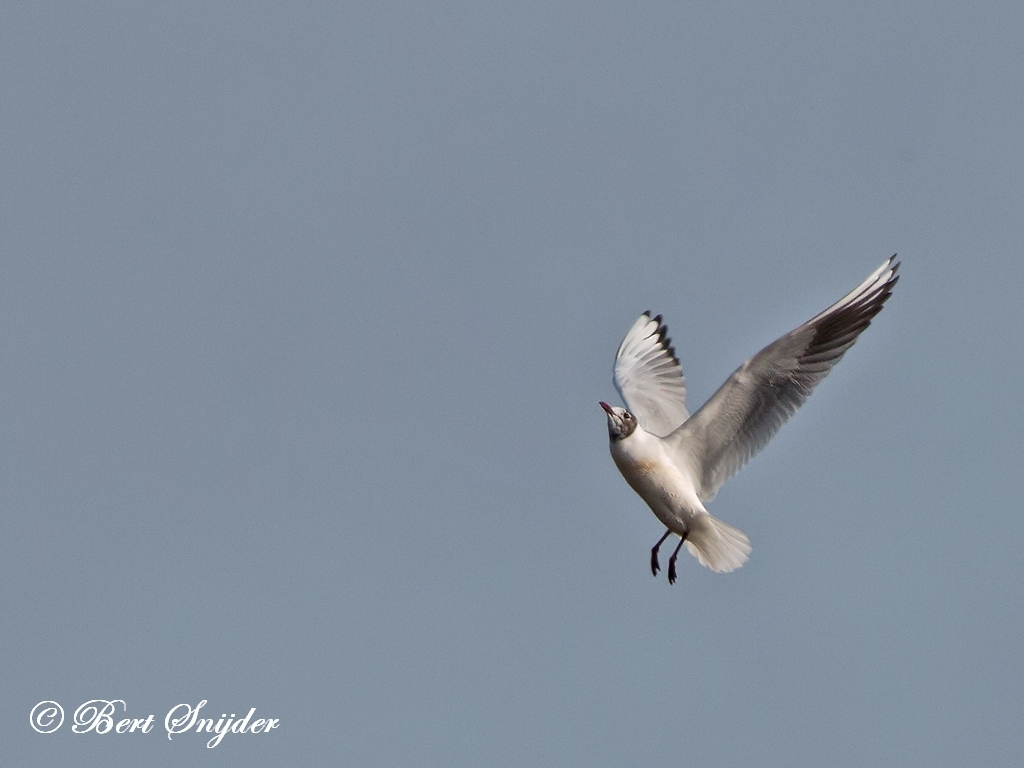 Black-headed Gull Bird Hide BSP2 Portugal
