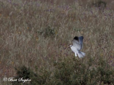 Black-winged Kite Birding Portugal