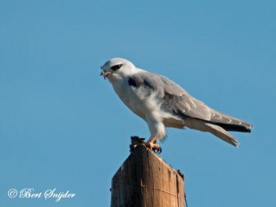 Black-winged Kite Birding Portugal