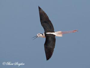 Black-winged Stilt Bird Hide BSP3 Portugal