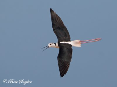 Black-winged Stilt Bird Hide BSP3 Portugal