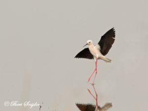 Black-winged Stilt Birding Portugal