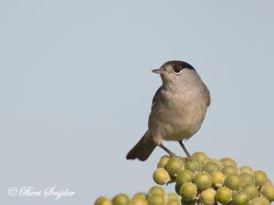 Blackcap Birding Portugal