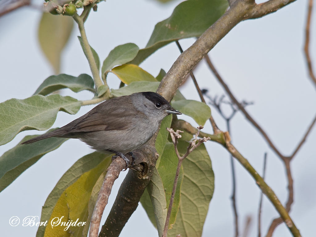 Blackcap Birding Portugal