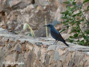 Blue Rock Thrush Birding Portugal
