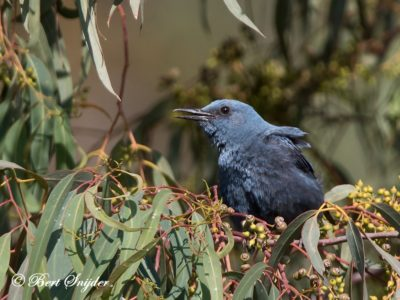 Blue Rock Thrush Birding Portugal