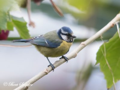 Blue Tit Birding Portugal