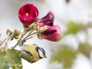 Blue Tit Birding Portugal