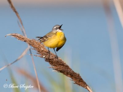 Blue-headed Wagtail Birding Portugal