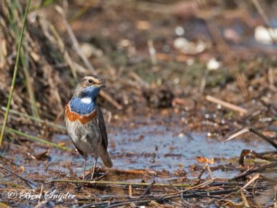 Bluethroat Birding Portugal