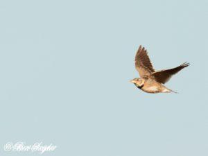 Calandra Lark Birding Portugal
