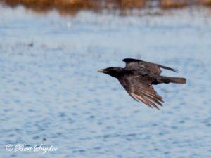 Carrion Crow Birding Portugal