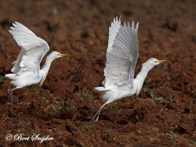 Cattle Egret Bird Hide BSP5 Portugal