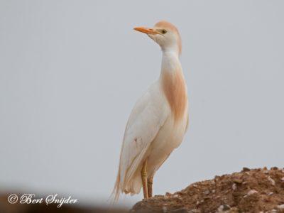 Cattle Egret Bird Hide BSP6 Portugal