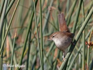 Cetti´s Warbler Birding Portugal