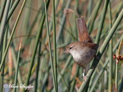 Cetti´s Warbler Birding Portugal