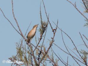 Cetti´s Warbler Bird Hide BSP3 Portugal
