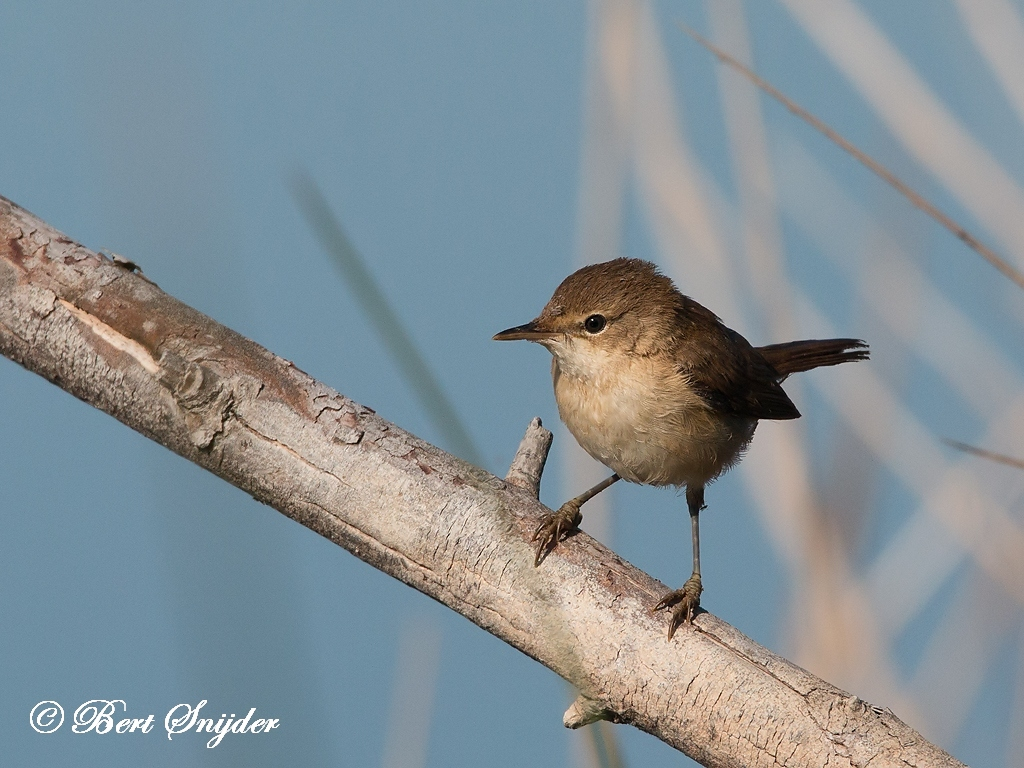 Cetti´s Warbler