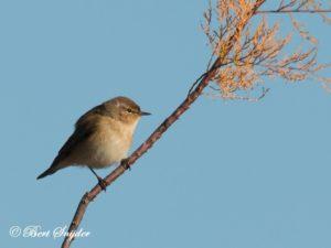 Chiffchaff Bird Hide BSP2 Portugal