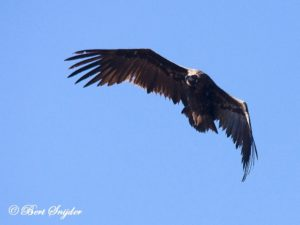 Cinereous Vulture Birding Portugal