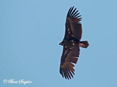 Cinereous Vulture Birding Portugal