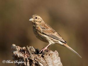 Cirl Bunting Birding Portugal