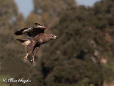 Common Buzzard Birding Portugal