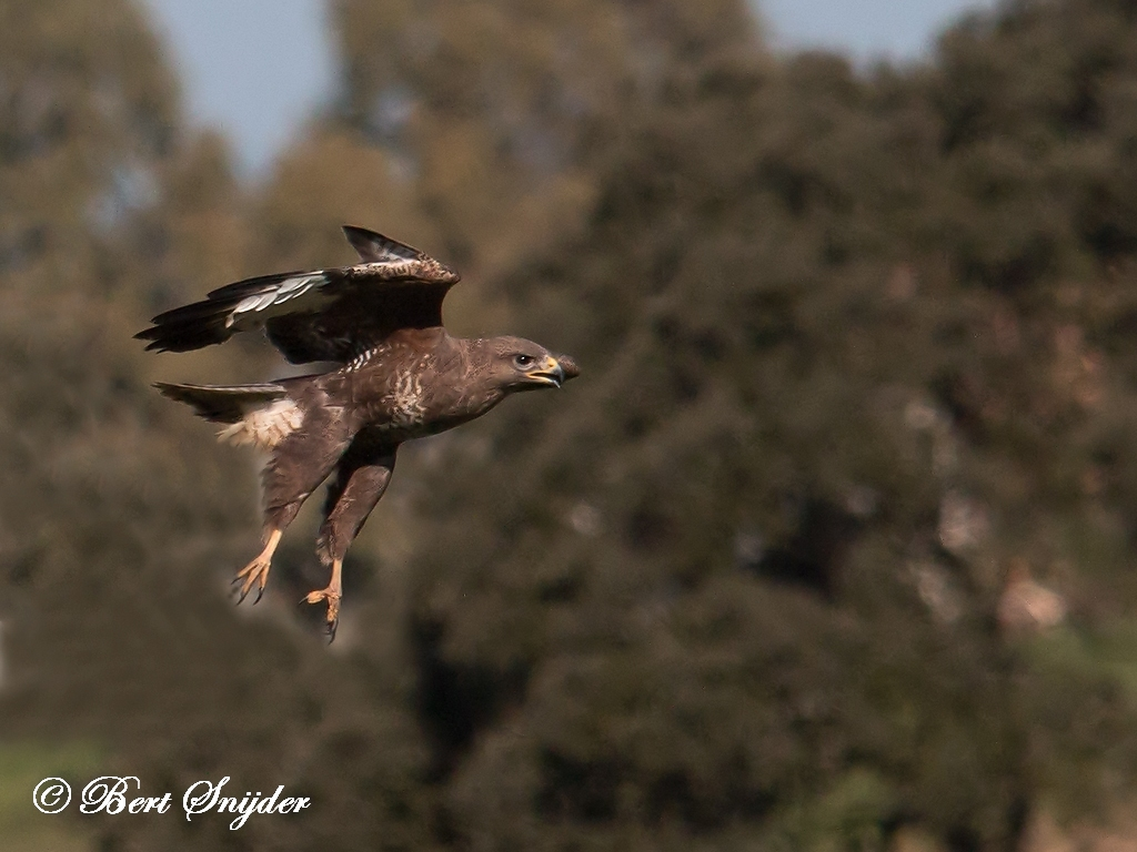 Common Buzzard Bird Hide BSP5 Portugal