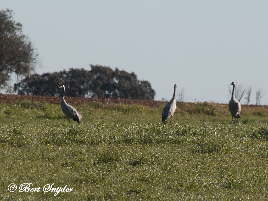 Common Crane Bird Hide BSP5 Portugal