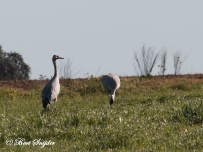Common Crane Bird Hide BSP5 Portugal