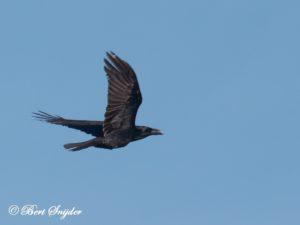 Common Raven Bird Hide BSP5 Portugal