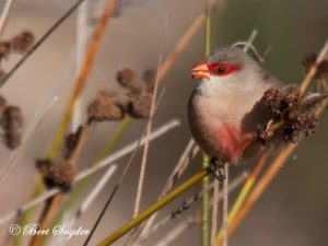 Common Waxbill Bird Hide BSP2 Portugal