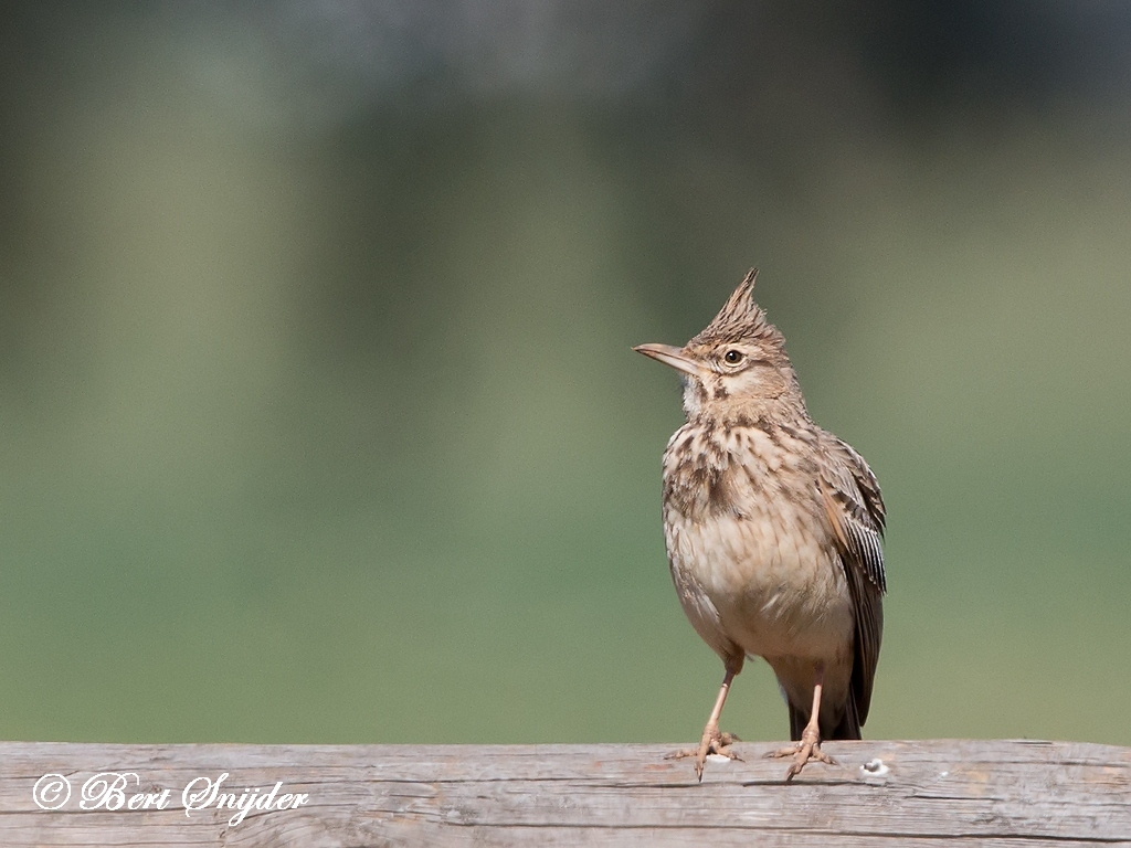 Crested Lark Bird Hide BSP5 Portugal