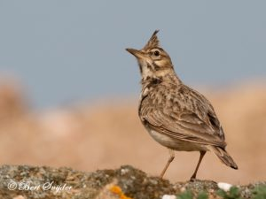 Crested Lark Bird Hide BSP6 Portugal