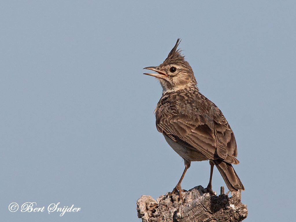 Crested Lark Bird Hide BSP3 Portugal
