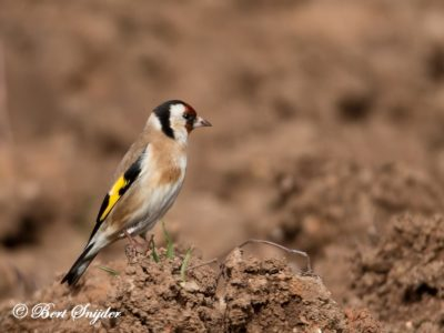 European Goldfinch Bird Hide BSP5 Portugal