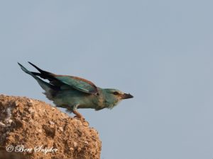 European Roller Bird Hide BSP6 Portugal